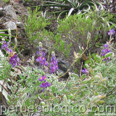 El tarwi es una leguminosa de inflorescencia muy llamativa, con flores ...