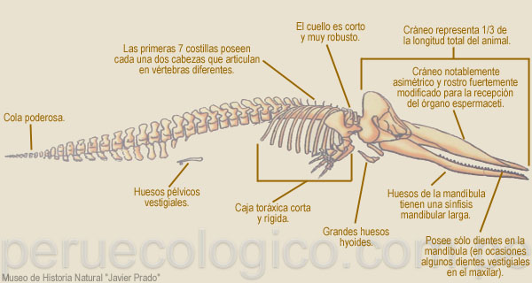 Cachalote Physeter Macrocephalus